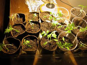 Photo: Her yer değişimi bitki için bir stress... Karton kapta olmasına rağmen üzülüp büzülenler var!