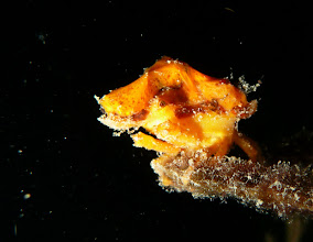 Photo: Sporting some grand sponge-hair, the spongy decorator crab (Marcocoeloma trispinosum)