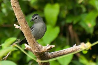 Photo: Grey Catbird (Katzenvogel); Bacalar, QROO