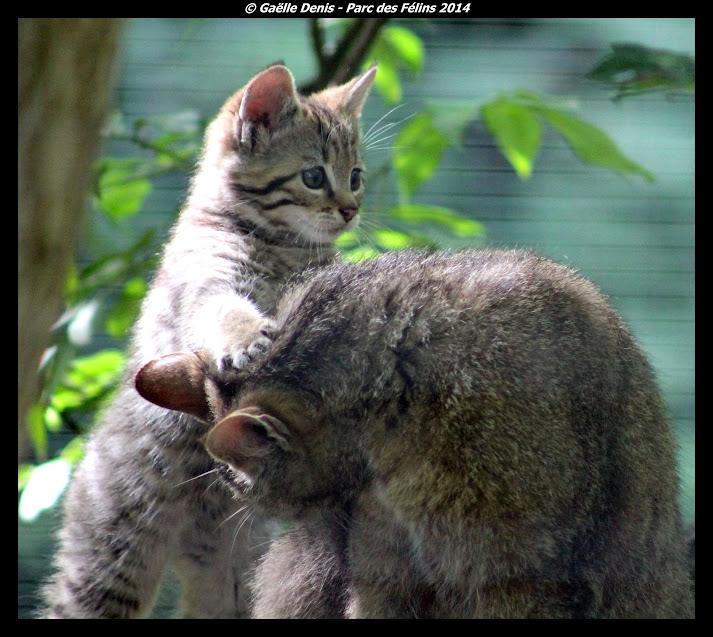 Jeune chat sauvage européen et sa mère, Parc des Félins - Tous droits réservés