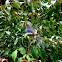 Chestnut-capped Laughingthrush