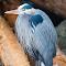 Blue Heron Profile 02 03 18.jpg