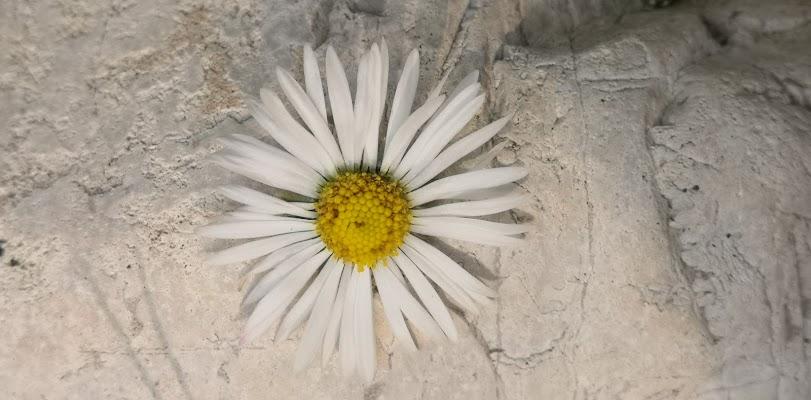 Margherita sulla pietra di patsie_1506