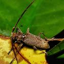 Flat -faced Long horn beetle