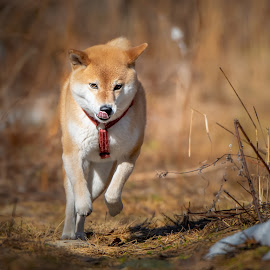 Her tongue is her rudder by Astrid Kallerud - Animals - Dogs Running ( pets, running, forest, shiba, woods, dogs, animal, animals, dog, pet )