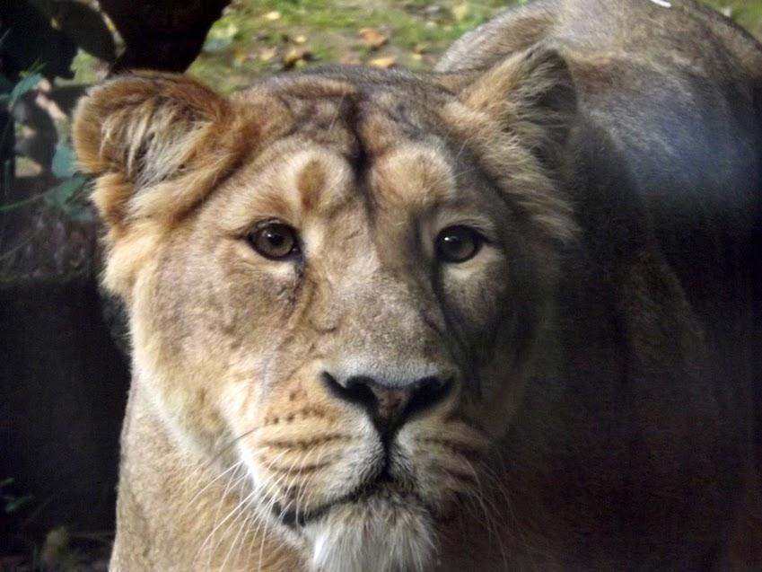 Lionne d'Asie, la Boissière du Doré - Tous droits réservés