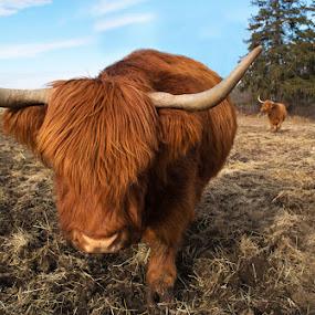 Scottish Highlanders by April Brown - Animals Other ( farm, field, scottish highlanders, cow )