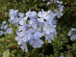 Photo: Fleur bleue?