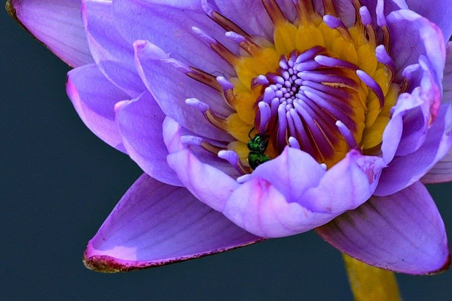 Water lily by Ruth Overmyer - Flowers Single Flower (  )