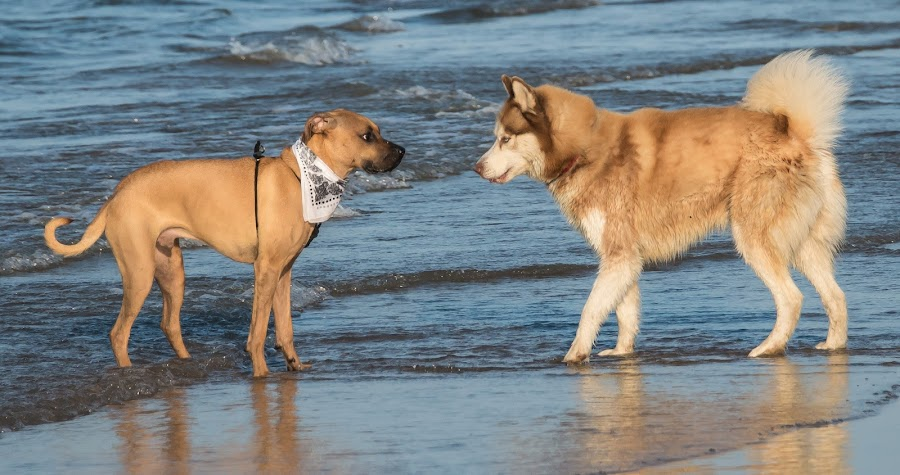 Face Off by Jan Crites - Animals - Dogs Playing ( curious, dogs, making friends, nose to nose, lake, beach )
