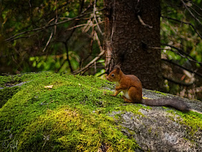 Photo: A young red squirrel chilling on a mossy boulder  For #SquirrelSaturday curated by +Skippy Sheeskin and +SE Blackwell