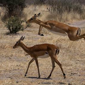 Leaping Impala  by VAM Photography - Animals Other Mammals ( animals, nature, impala, tanzania, mammal,  )