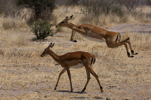 Leaping Impala  by VAM Photography - Animals Other Mammals ( animals, nature, impala, tanzania, mammal,  )