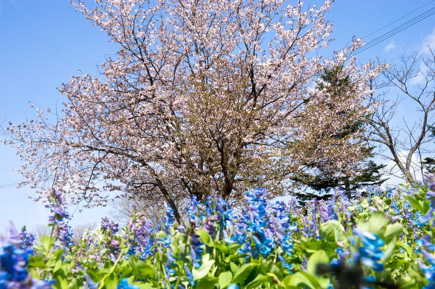 華麗なる桜