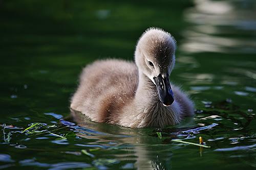 The ugly duckling by Nicu Buculei - Animals Birds ( water, animals, swan, birds,  )