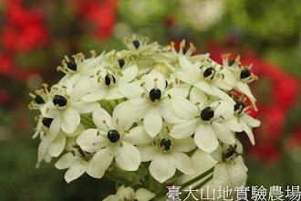 Photo: 拍攝地點: 梅峰-溫帶花卉區 拍攝植物: 伯利恆之星 拍攝日期:2012_09_27_FY