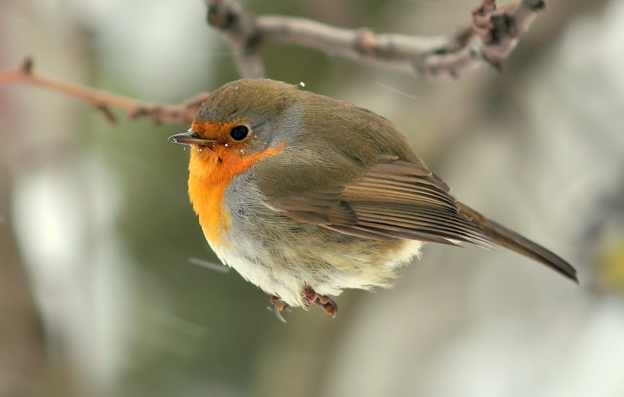 European Robin by Dalia Račkauskaitė - Animals Birds ( european robin )