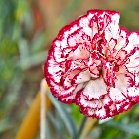 Red & White by Umair Nayab - Flowers Single Flower ( white flower, greenery, flower photography,  )