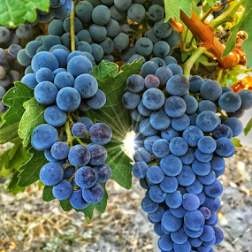 Vineyard grapes waiting for harvest by Kathy Dee - Nature Up Close Other plants ( wine, sunburst, washington, noir, vineyard, purple, grapes, state, pinot )