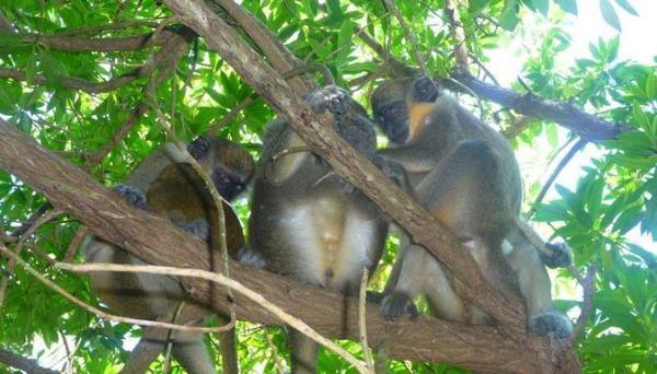Macacos de Cauda Verde