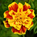 French marigold (Κατηφές)