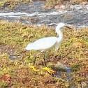 Garza Blanca/ Snowy Egret