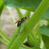 Square-headed Wasp (female)