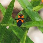 Milkweed Bug