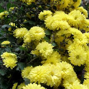yellow flowers by Gordana Djokic - Nature Up Close Flowers - 2011-2013 ( nature, nice, yellow, flowers, close )