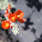 Orange globemallow