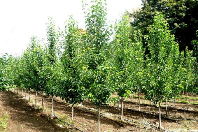 Скрещивание вишни и черешни