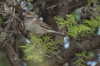 Photo: Chipping Sparrow (Schwirrammer), San Miguel de Allende, GTO