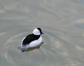 Photo: Bufflehead, Reifel Bird Sanctuary, B.C.