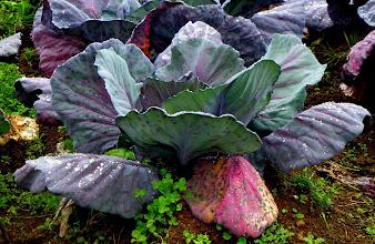 Photo: A purple cabbage in the organic farm