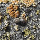 Jumping spider on a lichen field