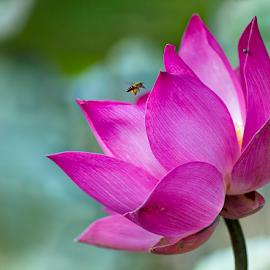 All Of Me by Steven De Siow - Flowers Single Flower ( lotus flower, pink lotus, lotus, pink flower, flower )