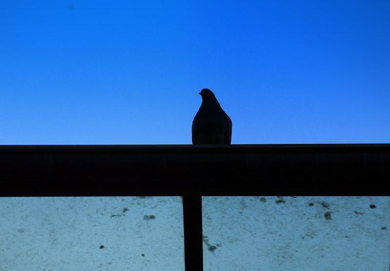 Piccione sul tetto di Dama