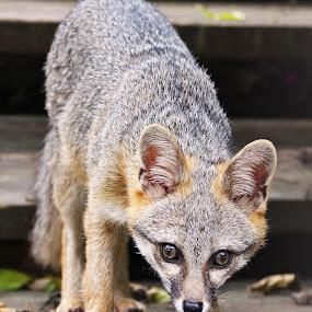 California Kit Fox by Arvind Mallya - Animals Other Mammals ( california kit fox )
