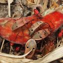Kapok Bug
