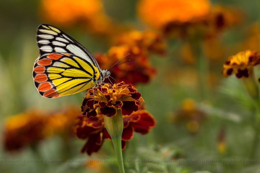 Common Jezebel on Red Marigold by Prabir Adhikary - Animals Insects & Spiders ( butterfly, butterfly on flower, colours in nature, common jezebel, beautiful butterfly,  )