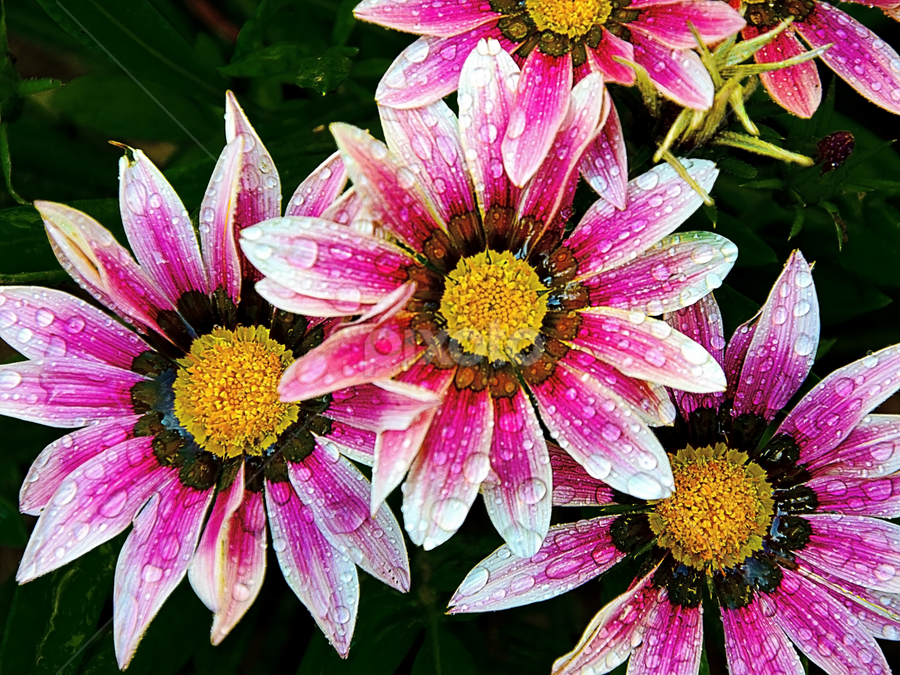 beautiful gazanias by LADOCKi Elvira - Flowers Flower Gardens ( flowers,  )