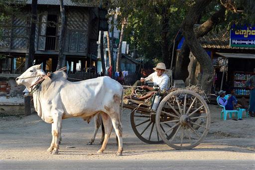 myanmar-cart-bull.jpg - A bull pulls a cart in Myanmar.