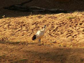 Photo: AUSTRALIE-Ibis