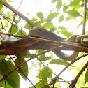 Japanese Four-Lined Ratsnake