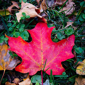 red leaf by Eric Wellman - Nature Up Close Leaves & Grasses ( red, fall, leaf,  )