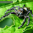 Heavy Jumping Spider, male