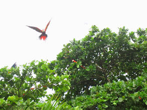 Photo: Best photo of the macaws we could get. You can hear them way more than you can see them, except for when they're flying.