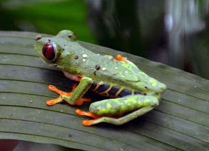 Photo: Red Eyed Tree Frog (sehr selten!)