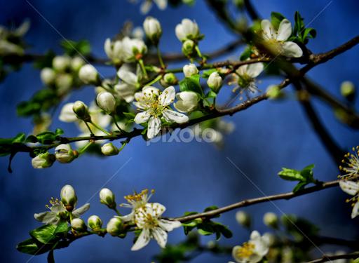behar tree blossoms flowers pixoto