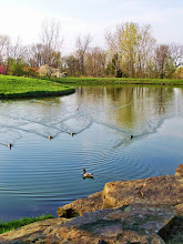 Photo: Ducks making ripples in a lake at Cox Arboretum in Dayton Ohio.